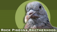 Rock Pigeons Brotherhood